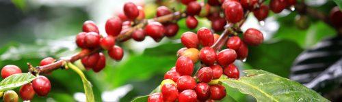 Coffee Development Loan