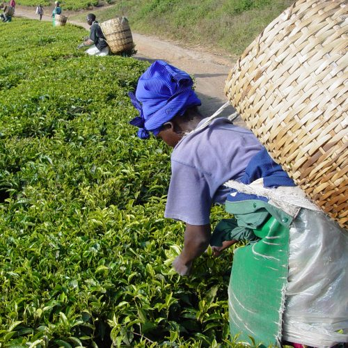 Tea Picking Advance Loan